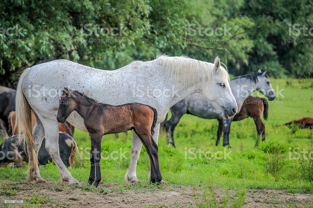 Mare with foal on the meadow stock photo