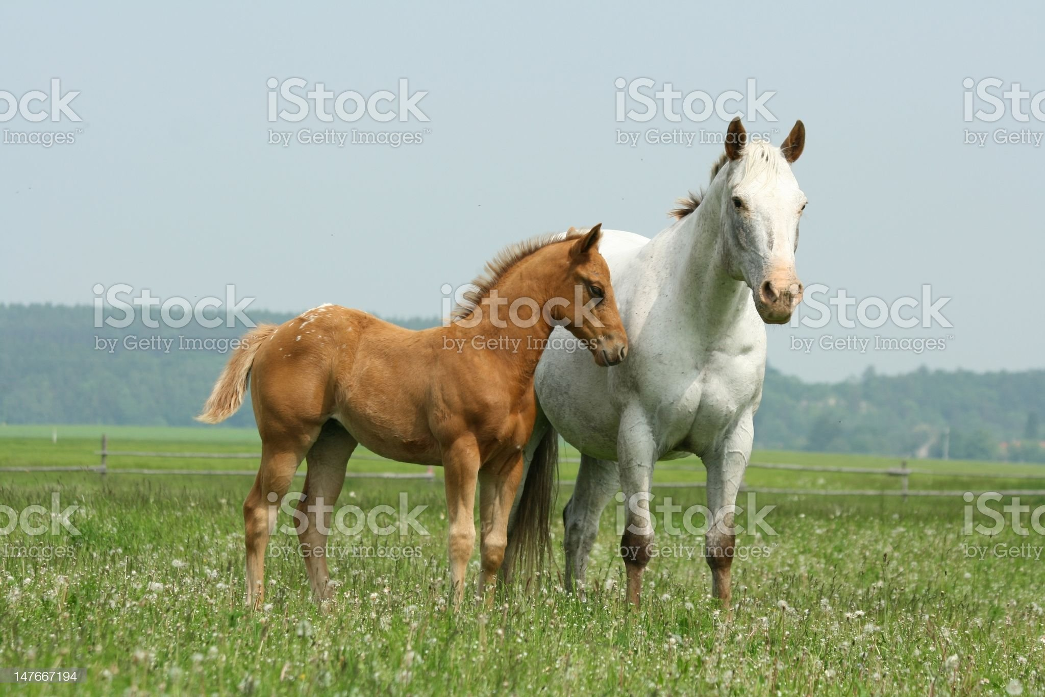 Mare with foal royalty-free stock photo
