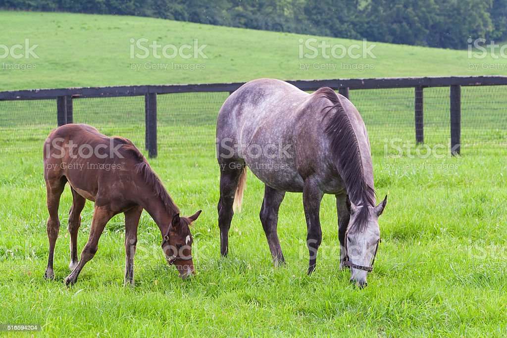 Mare with her colt on pastures of horse farms. stock photo