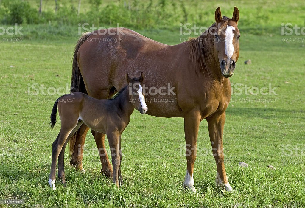 Mare With Young Foal stock photo