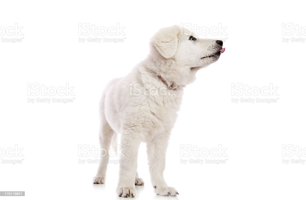 Maremma Puppy Licking royalty-free stock photo