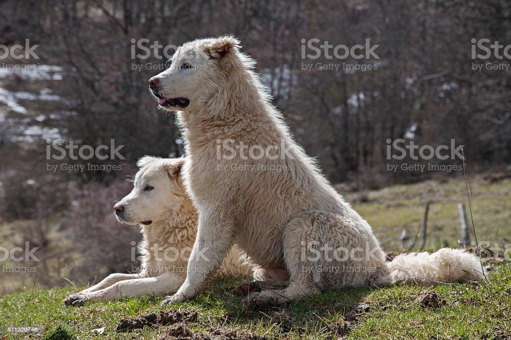 Maremma Sheepdog stock photo