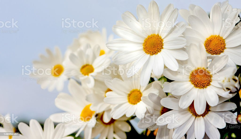 Margarita flowers royalty-free stock photo