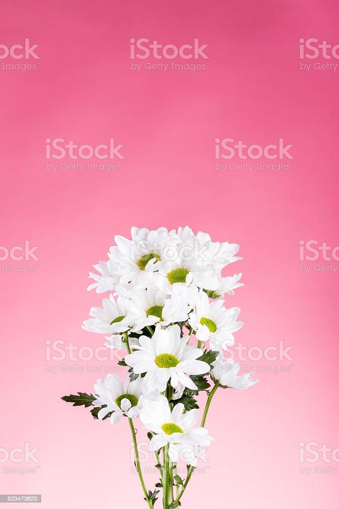 Margaritas sobre fondo rosa stock photo