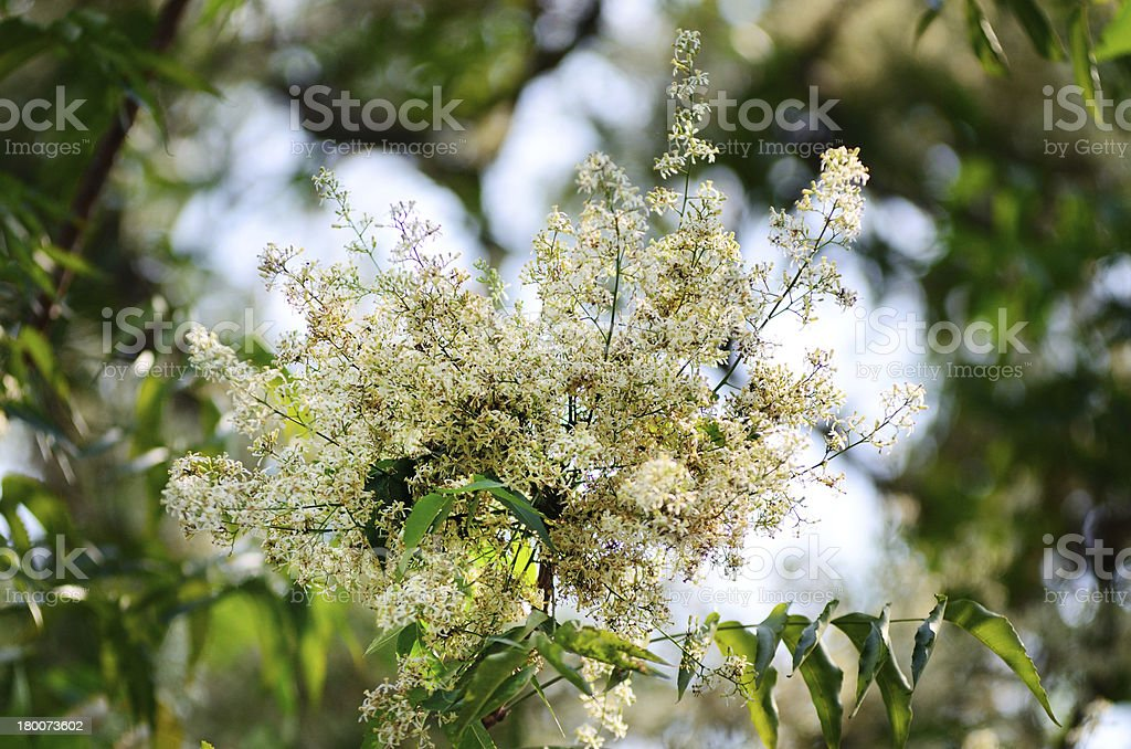 Margosa flower or Neem flowers in Thailand royalty-free stock photo
