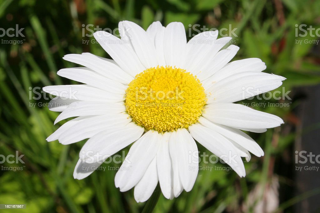 Marguerite close-up royalty-free stock photo