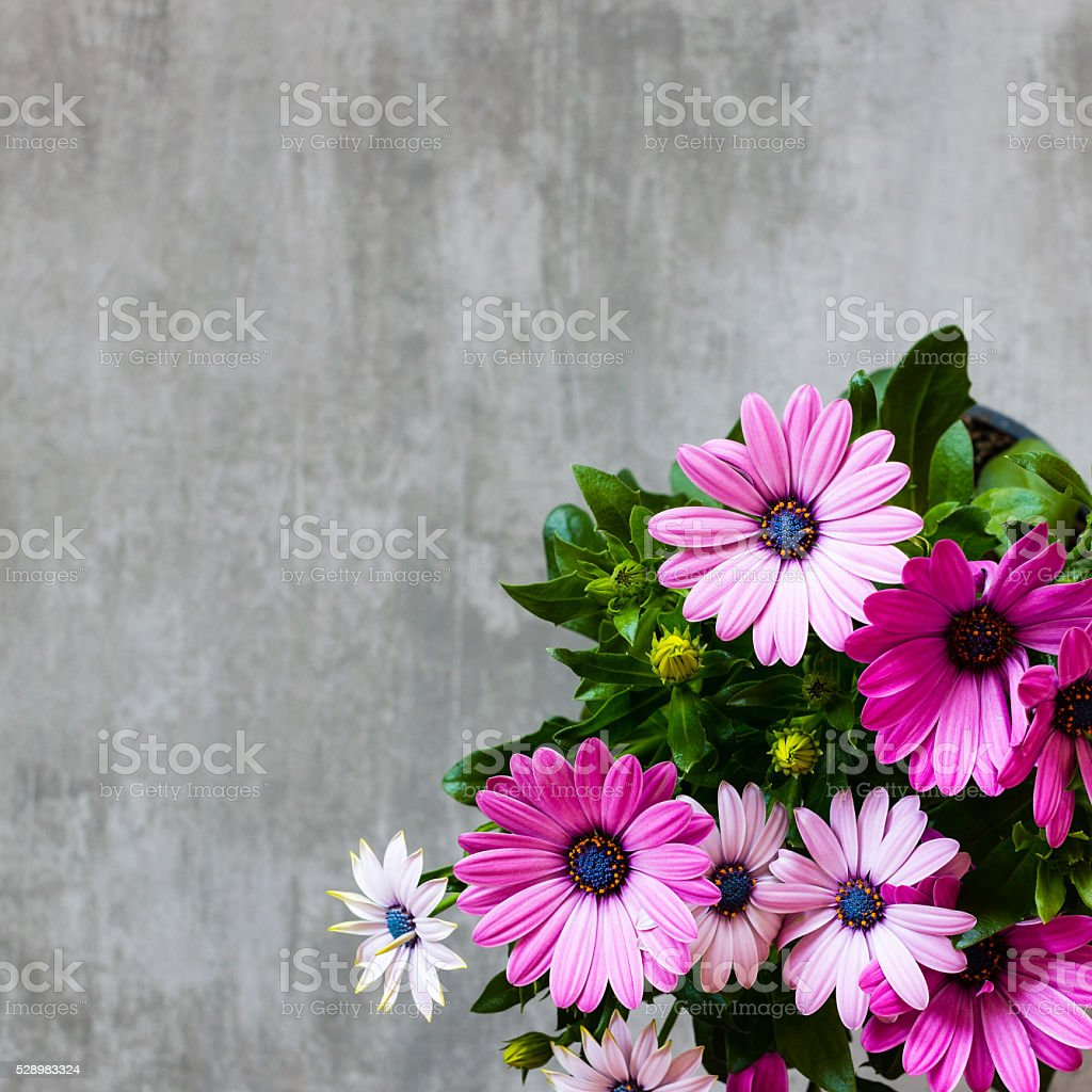 Marguerite Daisy on concrete background stock photo