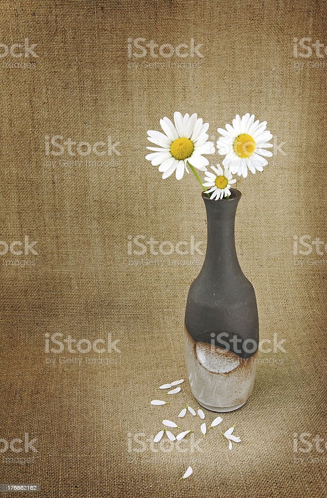 Marguerite in a vase royalty-free stock photo