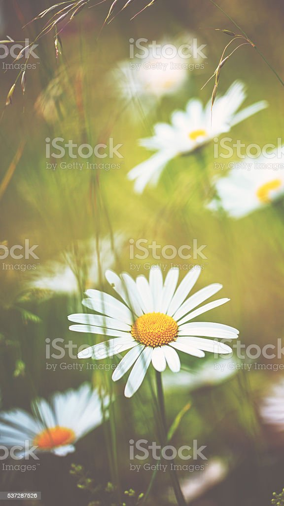 Marguerite [Leucanthemum vulgare] in summer stock photo