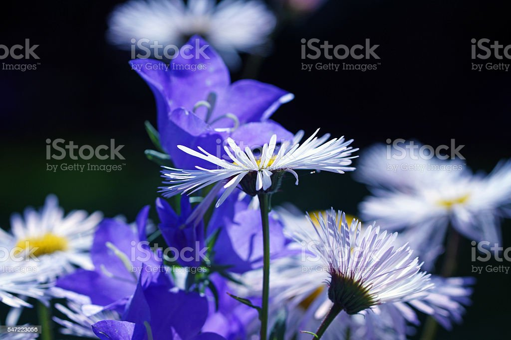 Marguerites and bellflowers stock photo