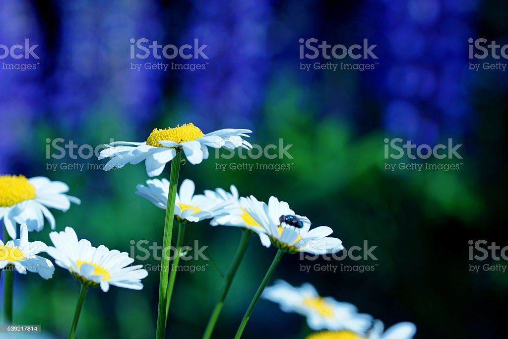 Marguerites and lupins stock photo