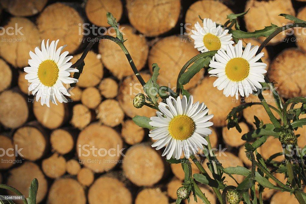 Marguerites photo libre de droits