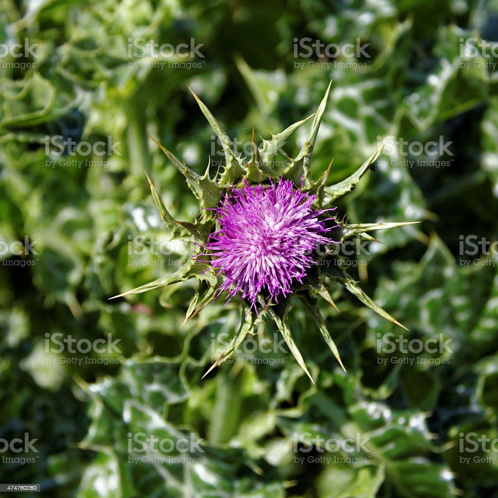 Marian thistle flower stock photo