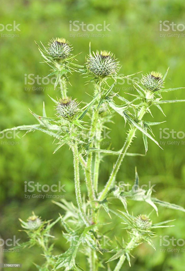 Marian thistle (Silybum marianum) stock photo