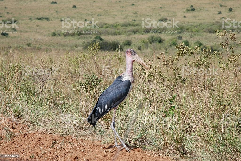 Maribou Stork royalty-free stock photo