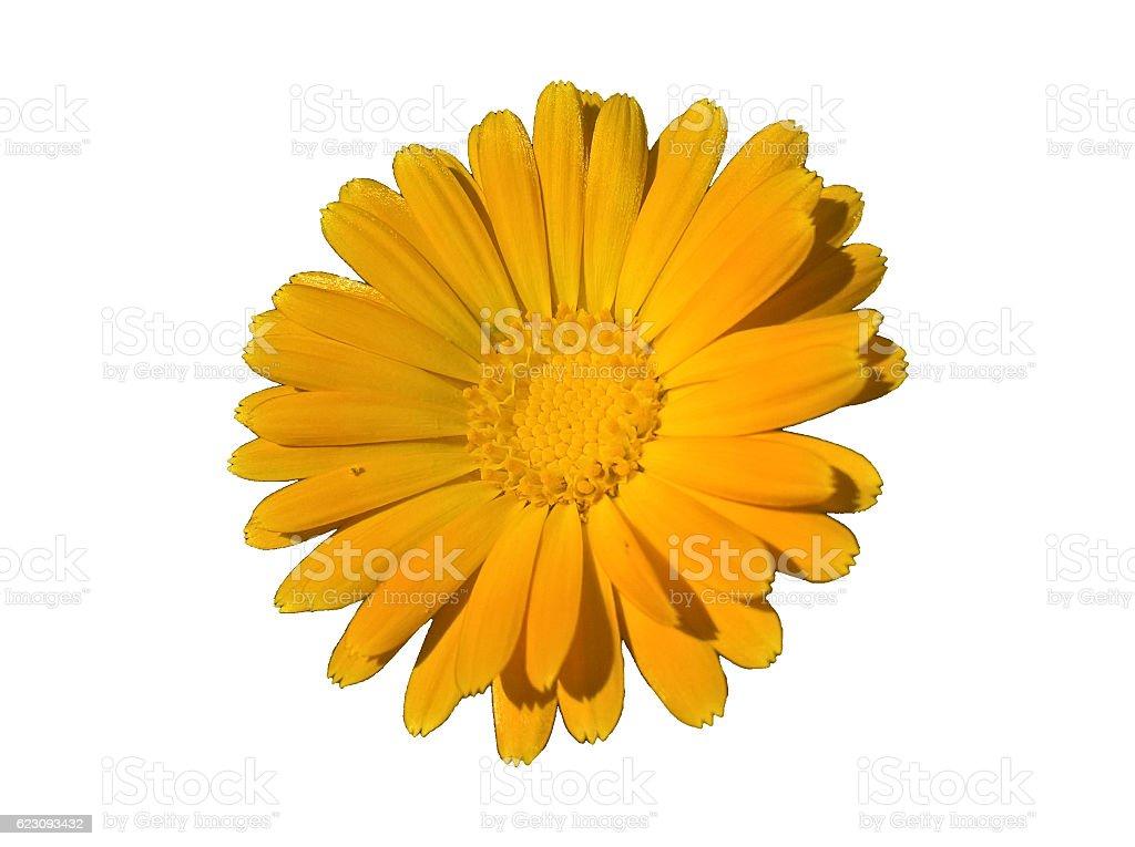 Marigold (Calendula) Angle Isolated stock photo