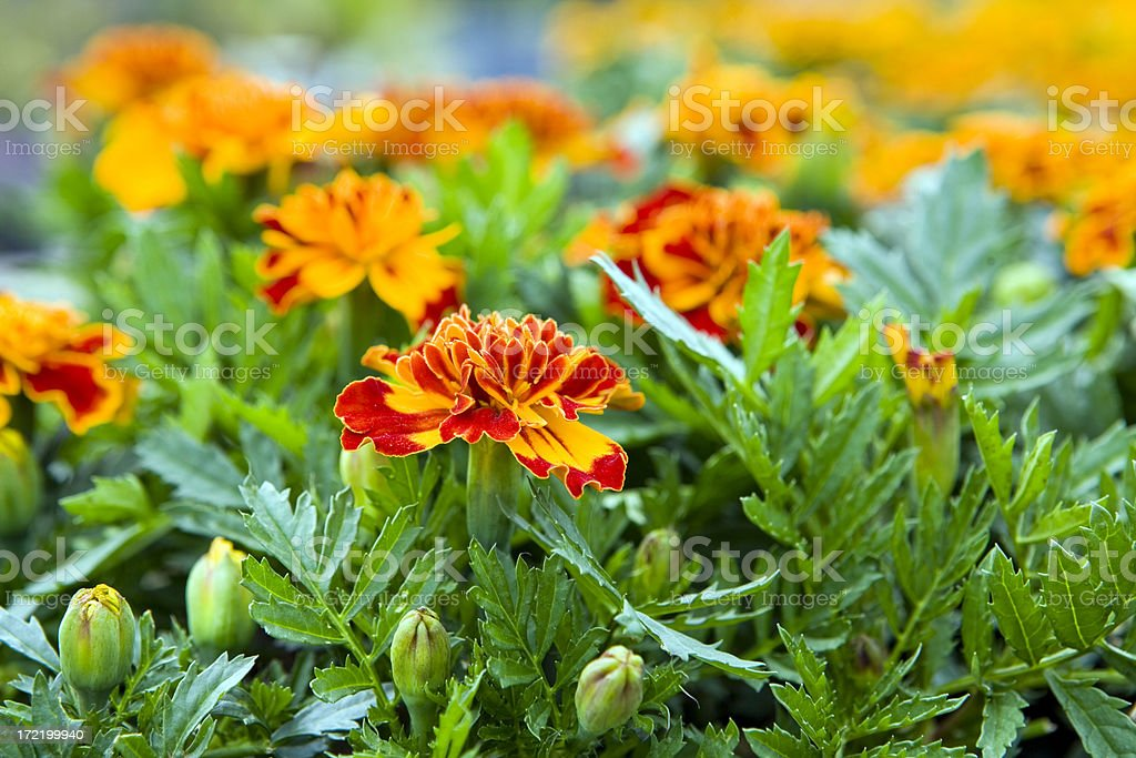 Marigold Buds and  Blooms royalty-free stock photo