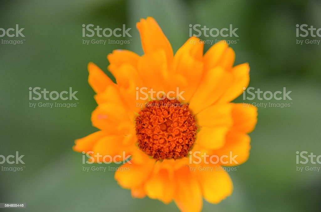 Marigold Calendula officinalis flower closeup as background stock photo