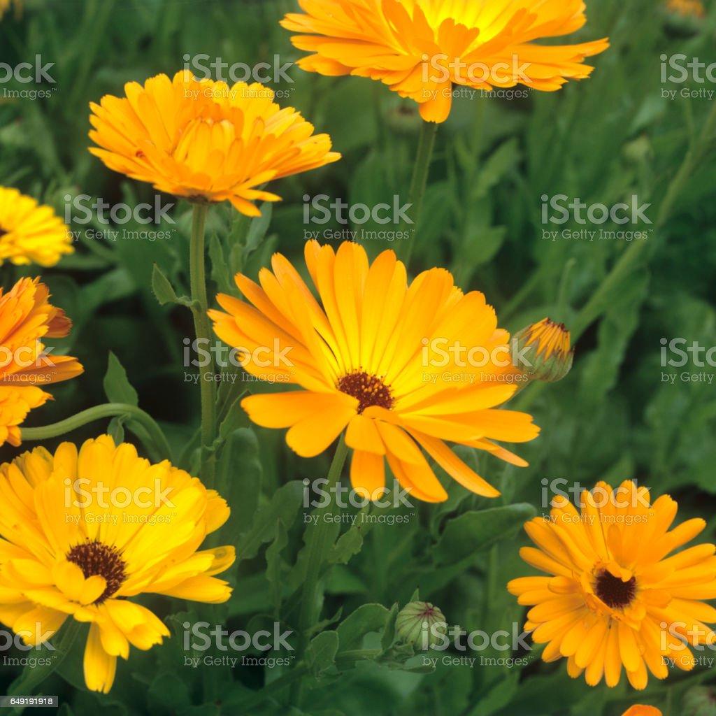 Marigold; Calendula officinalis stock photo