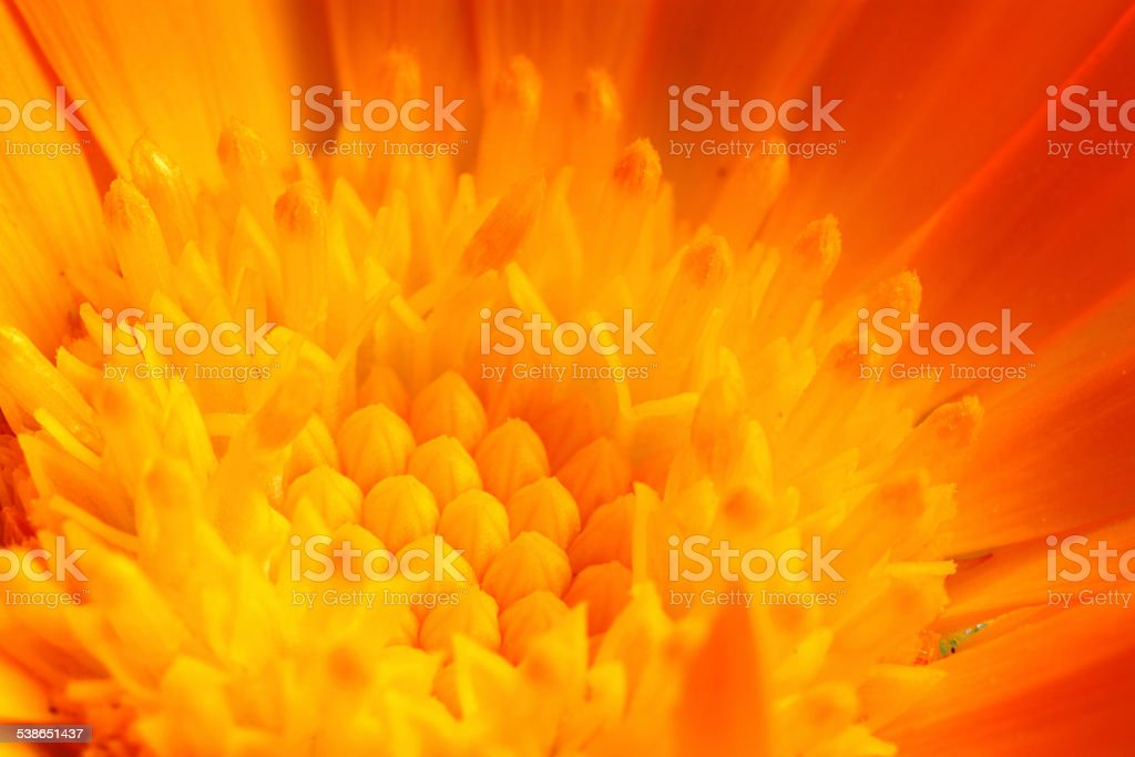 Marigold Close Up stock photo