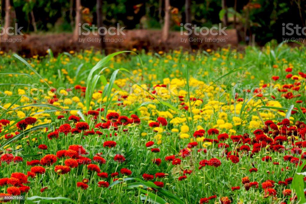 Marigold farm stock photo