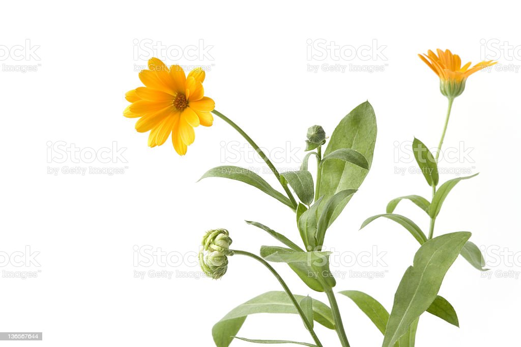 Marigold flower and butt stock photo