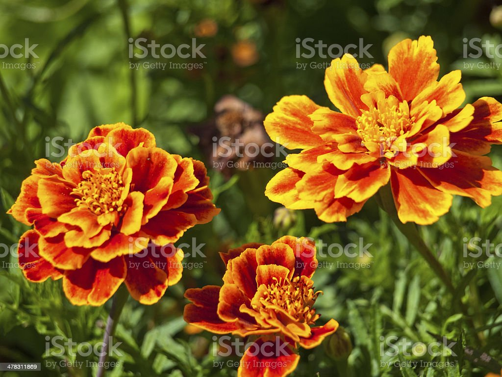 marigold flower background royalty-free stock photo