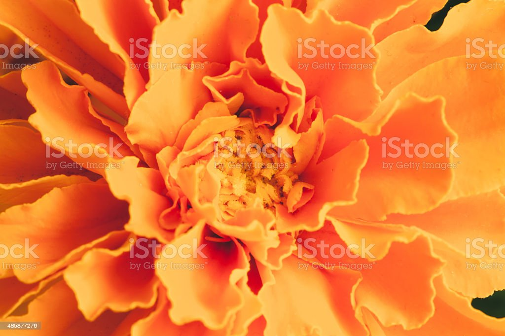 Marigold flower close-up stock photo