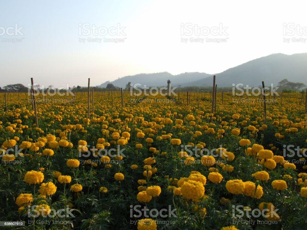marigold flower field stock photo