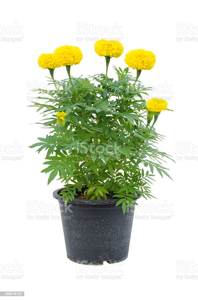 marigold flower in pot isolated on white background stock photo