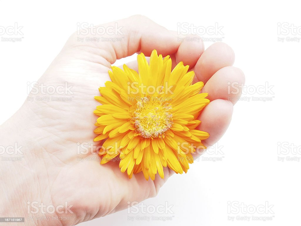 marigold flower on a white background royalty-free stock photo