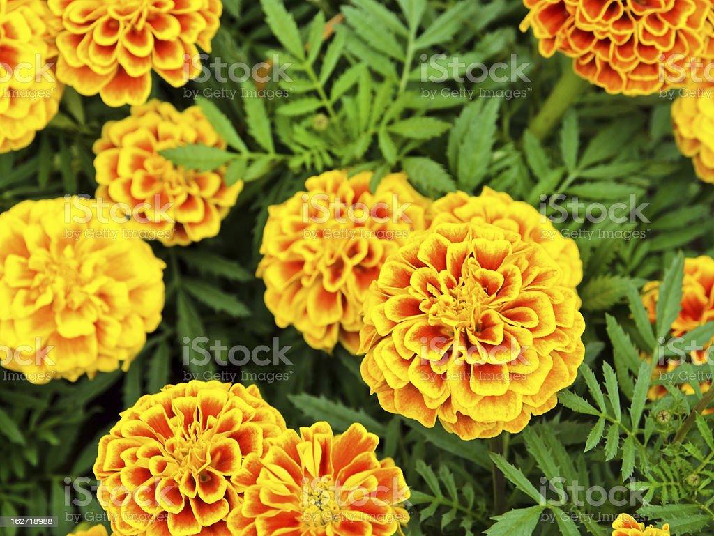 Marigold flower royalty-free stock photo