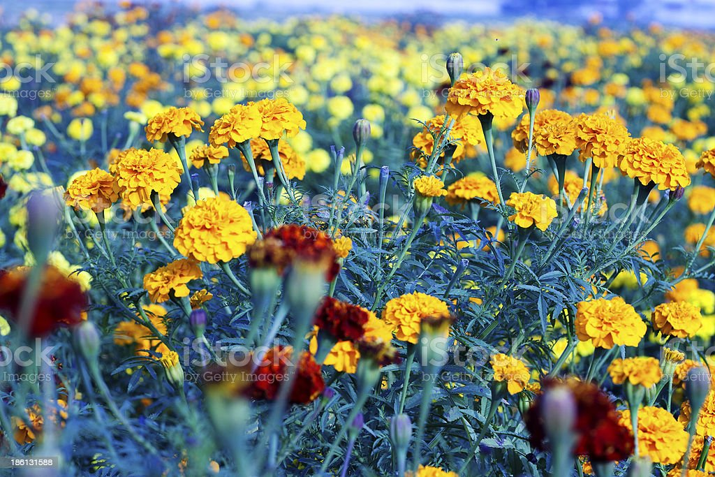 Marigold Flower royalty-free stock photo