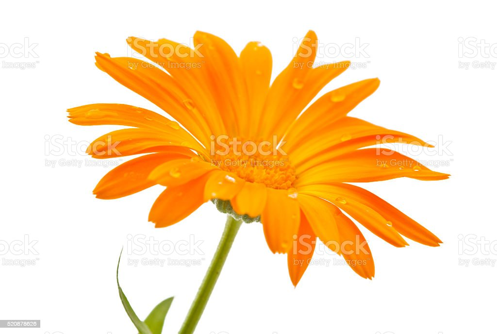 marigold flower with dew drops isolated stock photo