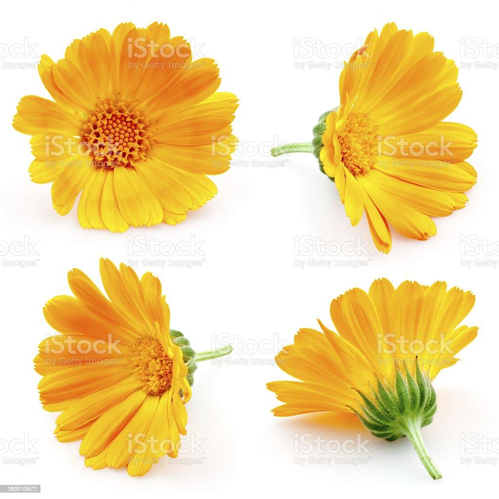 marigold flowers. Calendula isolated on white. set stock photo