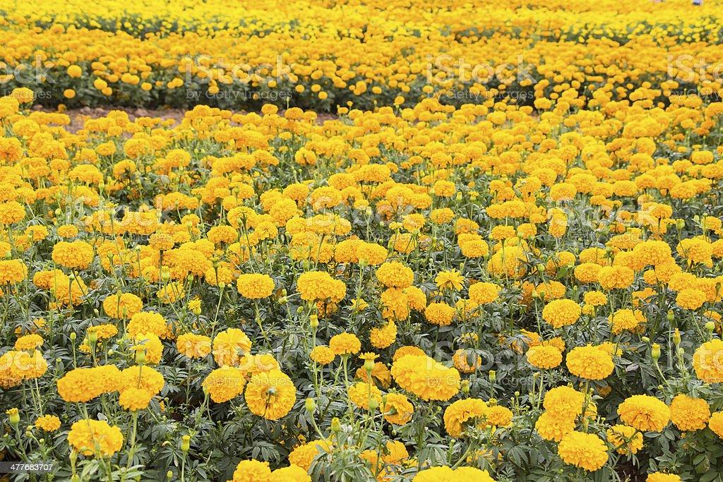 marigold flowers  field royalty-free stock photo