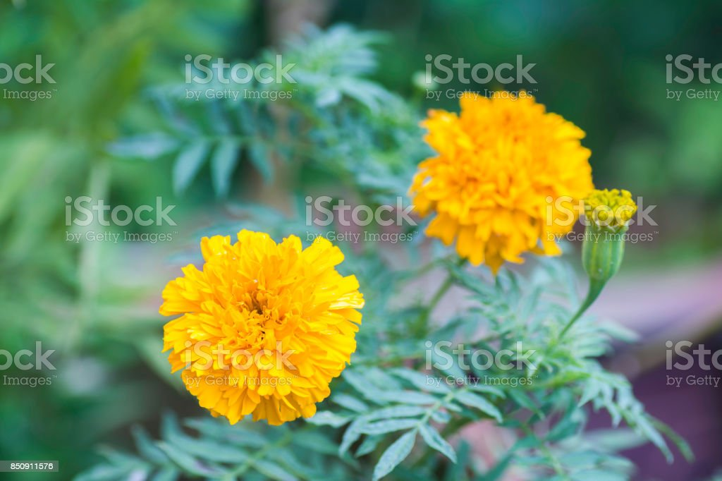 Marigold flowers on the background blurred. stock photo