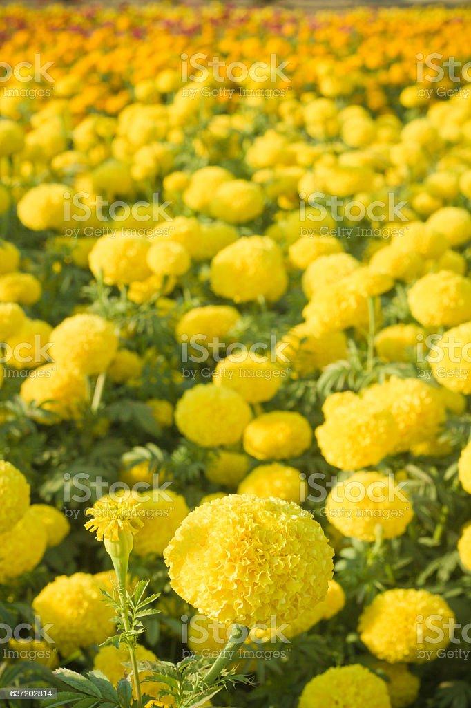 Marigold Garden stock photo