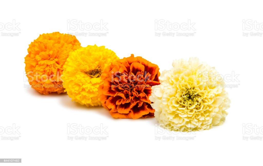 Marigold isolated stock photo