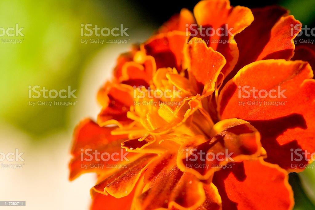 Marigold macro royalty-free stock photo