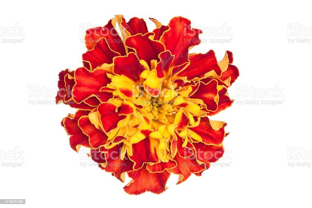 marigold on white background royalty-free stock photo