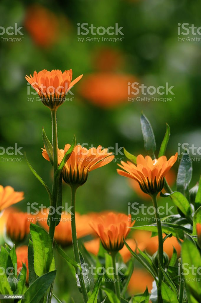 Marigold or calendula officinalis stock photo