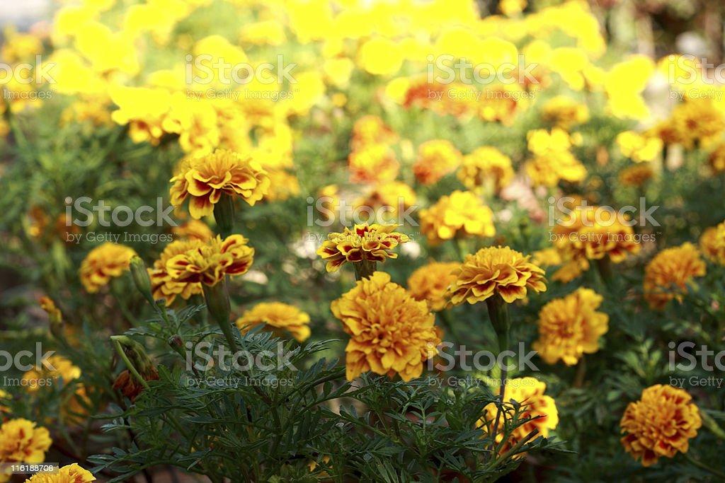 Marigold royalty-free stock photo