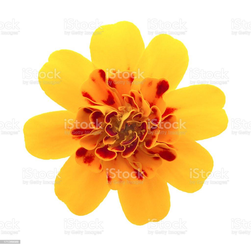 Marigold. royalty-free stock photo