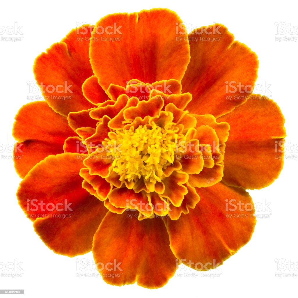 Marigold. stock photo
