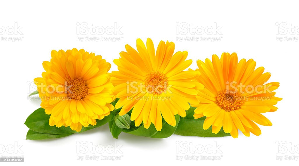 Marigold stock photo