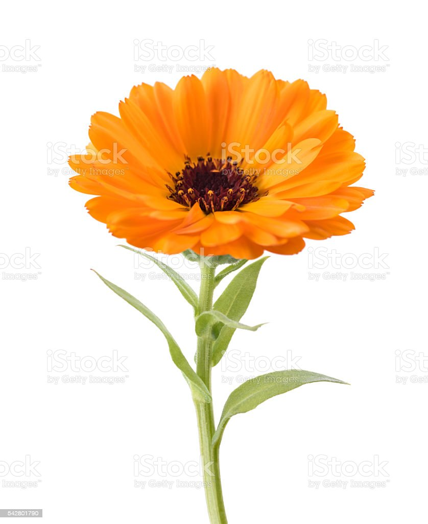 Marigold (Calendula officinalis) stock photo