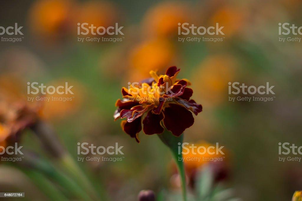 Marigold stock photo