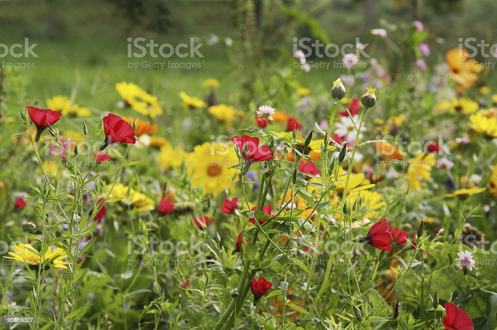 Wildflowers in a summer meadow stock photo