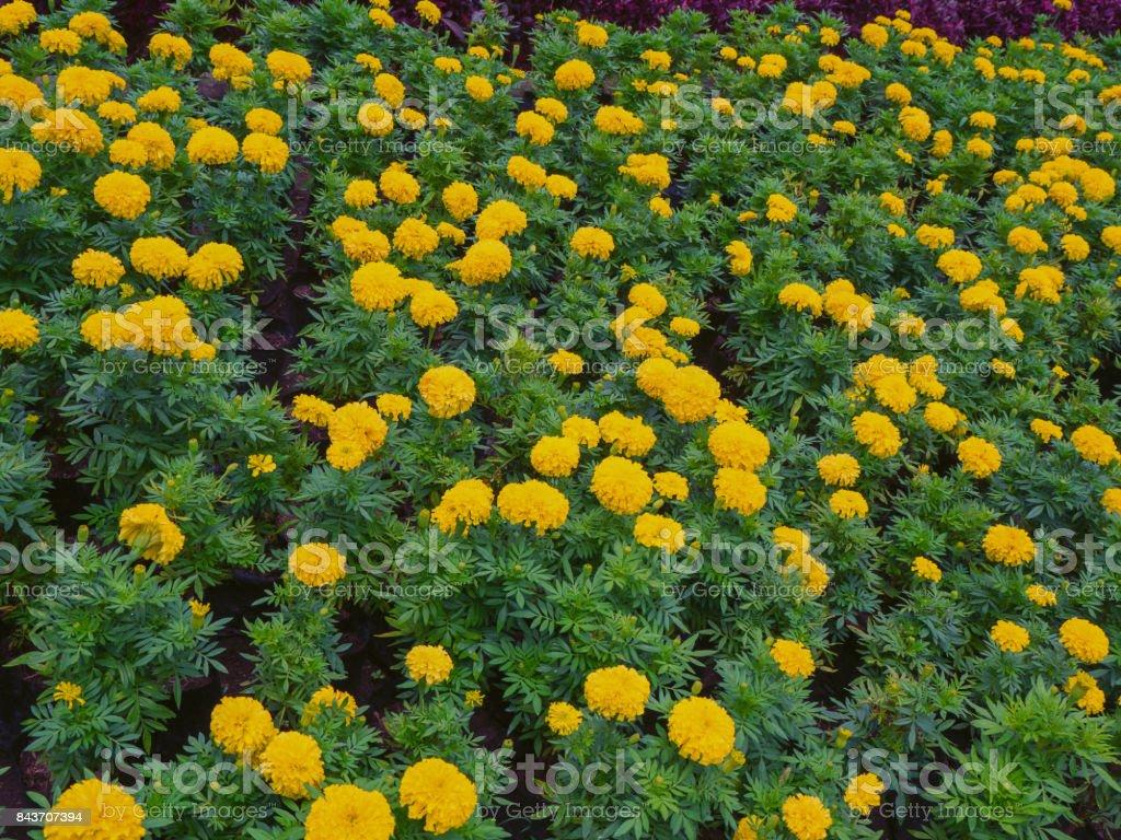 marigold, yellow flower. stock photo